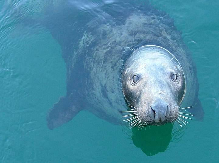 'Whiskers', a favourite grey seal at Shetland Catch. Photo courtesy of Jonathan Wills.