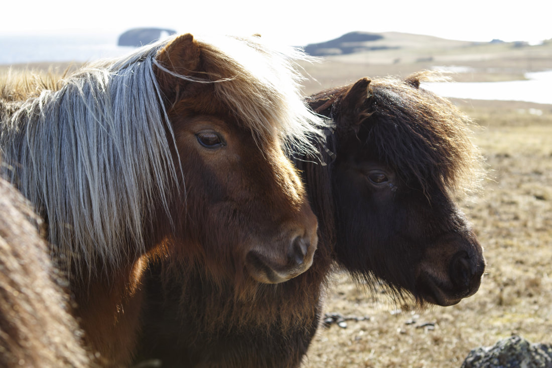 Shetland ponies, another unique breed to the islands.
