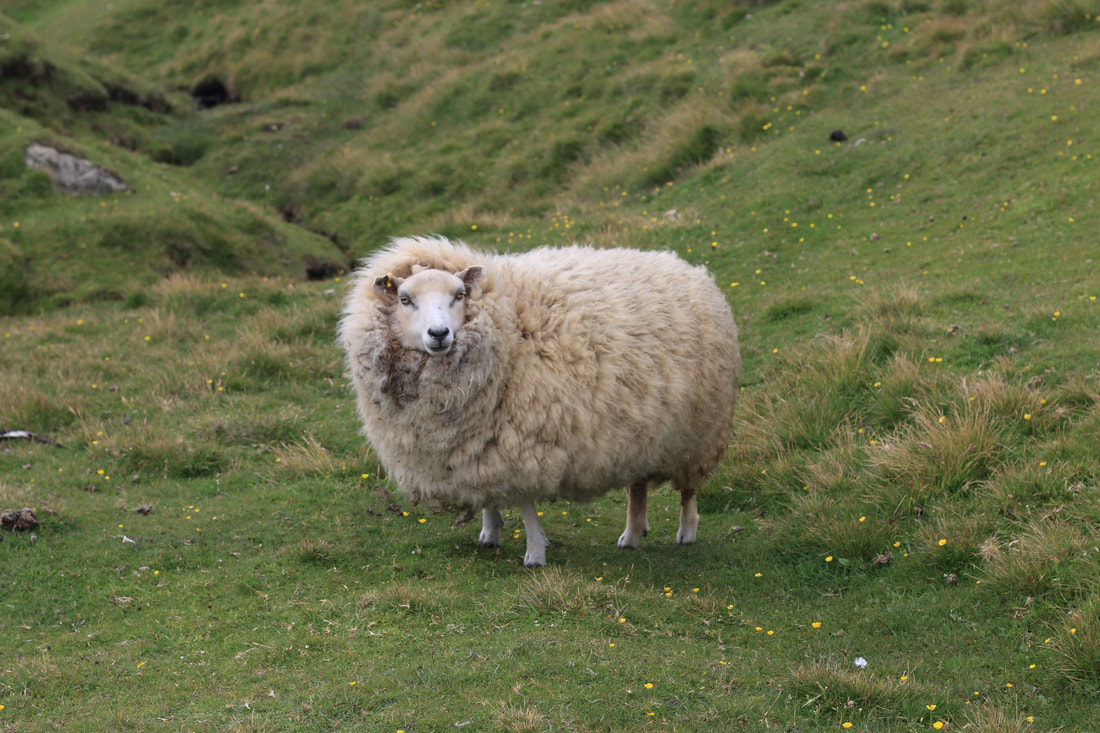 A Hermaness sheep checks us out.