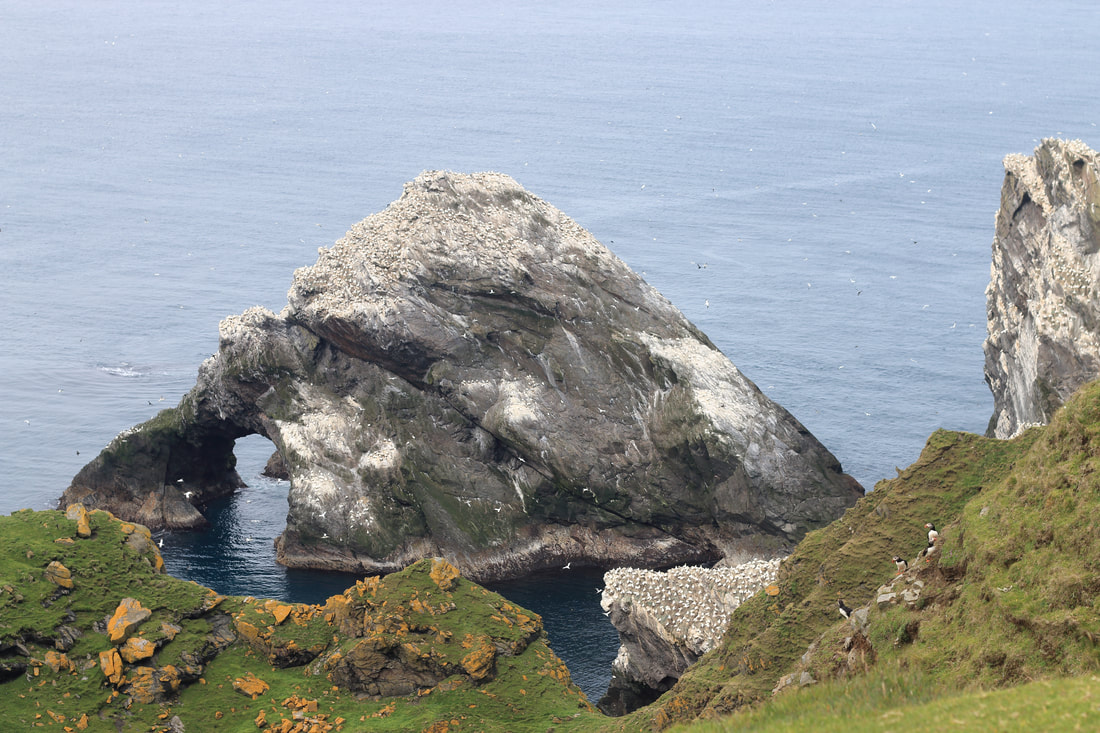 A colony of gannets at Hermaness, Unst.