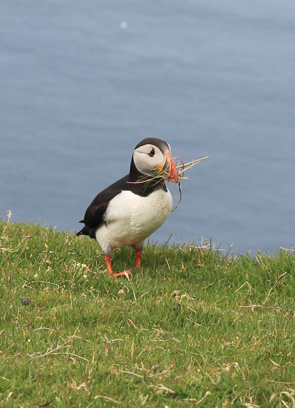 A puffin at Hermaness, Unst.