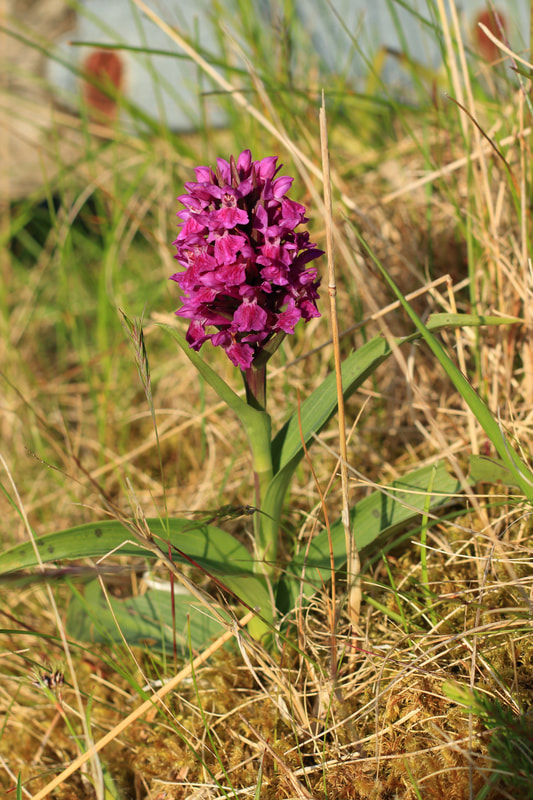 Northern marsh orchid in Shetland.