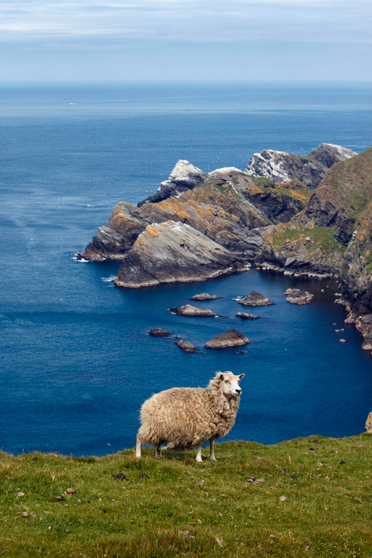 Sheep at Hermaness, Unst, Shetland.
