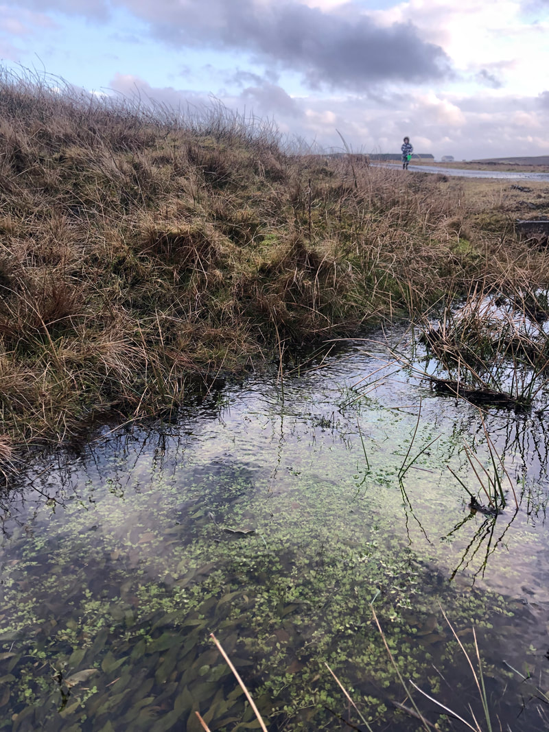 Collecting frogspawn in Shetland.