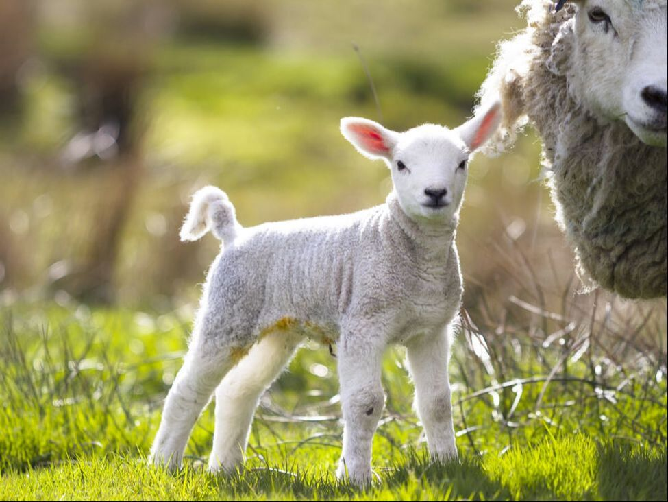A spring lamb and  mother.  Shetland sheep are prized for their wool and meat.
