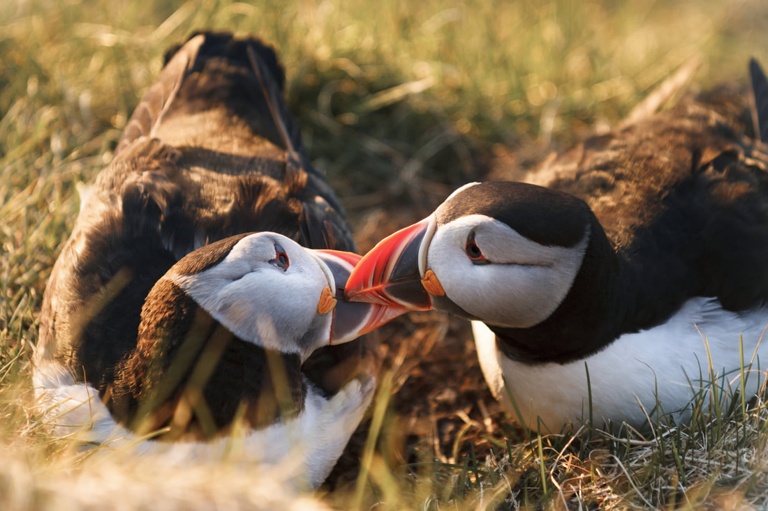 Puffins courting at Sumburgh Head.